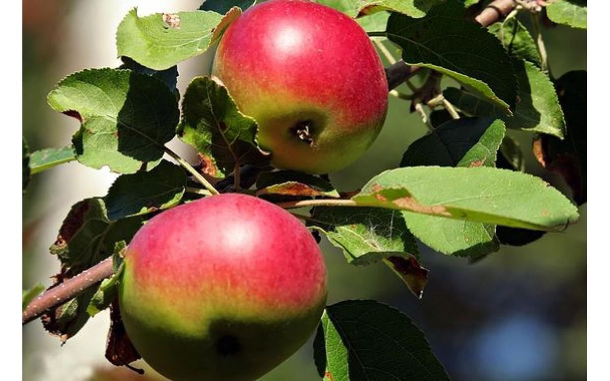 Przepis na wino z Dzikich Jabłek